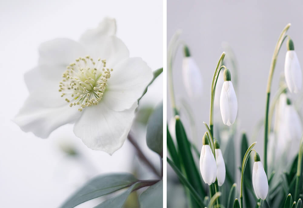 White Hellebores and Snowdrops